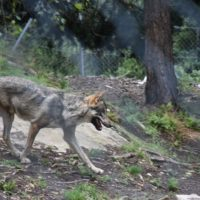 zoo_marécottes_loup